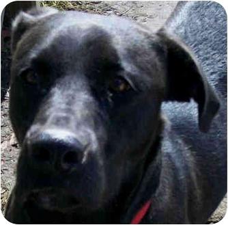 Labrador Retriever Mix Dog for adoption in Marseilles, Illinois - Moxie