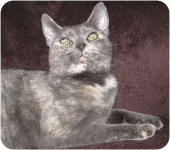 Russian Blue Cat for adoption in South Windsor, Connecticut - Kiki