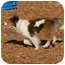 Photo 3 - Sheltie, Shetland Sheepdog Dog for adoption in Ft. Myers, Florida - Kenzie