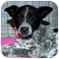Photo 1 - Australian Cattle Dog/Australian Cattle Dog Mix Puppy for adoption in Broomfield, Colorado - Patsy Cline