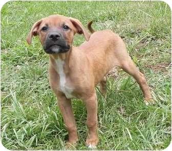 Labrador Retriever/Beagle Mix Puppy for adoption in Windham, New Hampshire - Becks