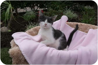 Domestic Shorthair Kitten for adoption in Newport Beach, California - LAYLA