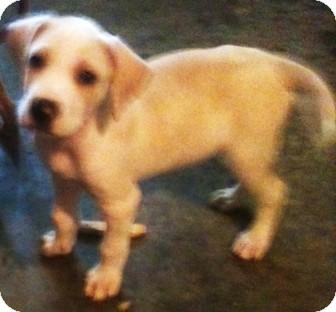 Labrador Retriever Mix Puppy for adoption in Newburgh, Indiana - Toby