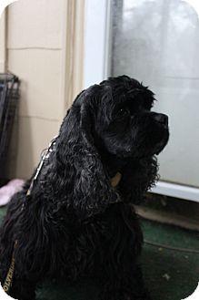 Cocker Spaniel Dog for adoption in Grand Rapids, Michigan - Jasmine