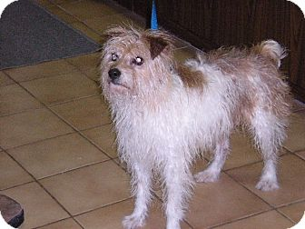 "Jack Russell Terrier Dog for adoption in New Castle, Pennsylvania - "" Jake """