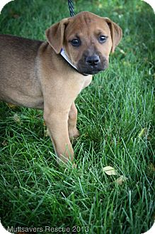 Boxer/Labrador Retriever Mix Puppy for adoption in Broomfield, Colorado - CauliFlower