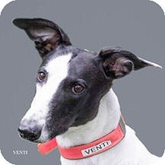 Greyhound Dog for adoption in Woodinville, Washington - Venti