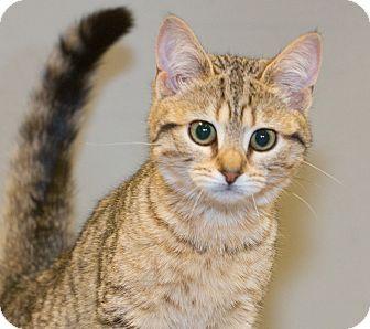 Domestic Shorthair Kitten for adoption in Elmwood Park, New Jersey - Ginger