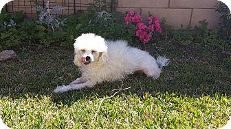 Maltese/Poodle (Miniature) Mix Dog for adoption in San Dimas, California - Sadie