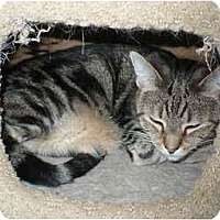 Adopt A Pet :: Pounce - Colmar, PA