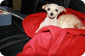 Dachshund/Pomeranian Mix Puppy for adoption in Gilbert, Arizona - Nala