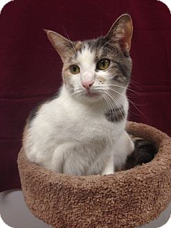 Calico Cat for adoption in Elmwood Park, New Jersey - Lucy