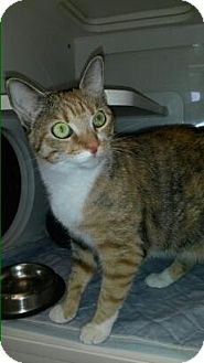 Domestic Shorthair Cat for adoption in Flower Mound, Texas - Rusty