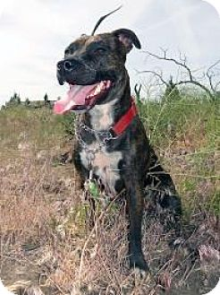 American Staffordshire Terrier Dog for adoption in Redmond, Oregon - Kiko