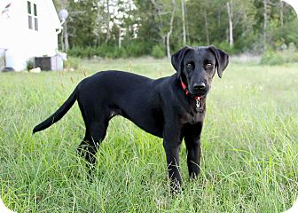 Labrador Retriever Mix Puppy for adoption in Salem, New Hampshire - PUPPY MENDY