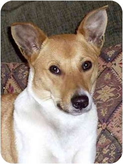 Jack Russell Terrier Mix Dog for adoption in El Segundo, California - Sadee