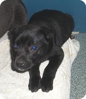 Labrador Retriever Mix Puppy for adoption in Warrenton, North Carolina - Daisey and Rose