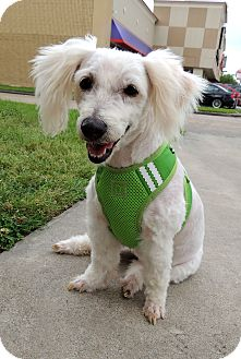 Maltese/Poodle (Miniature) Mix Dog for adoption in Humble, Texas - Noodle
