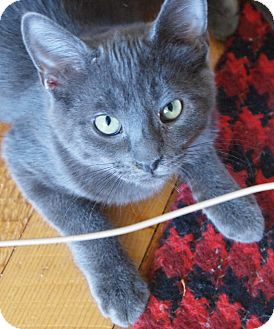 Russian Blue Cat for adoption in Buhl, Idaho - Kolby