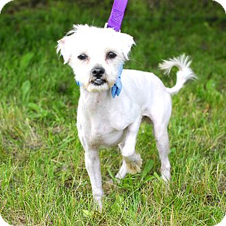 Maltese/Poodle (Miniature) Mix Dog for adoption in Detroit, Michigan - Alvin-Adopted!