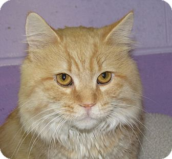 Domestic Mediumhair Cat for adoption in New Kensington, Pennsylvania - Clyde