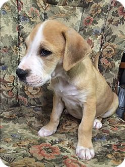 Hound (Unknown Type)/Labrador Retriever Mix Puppy for adoption in Jacksonville, North Carolina - Jackson