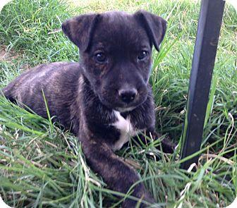 German Shepherd Dog/Pit Bull Terrier Mix Puppy for adoption in Cave Creek, Arizona - Mowgley