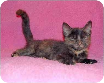 Domestic Shorthair Kitten for adoption in Taylor Mill, Kentucky - Freckles