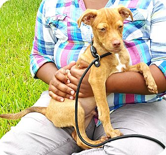 Chihuahua/Terrier (Unknown Type, Small) Mix Puppy for adoption in Houston, Texas - Cocoa