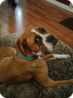 Boxer Dog for adoption in Caledon, Ontario - Jaxon