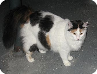 Domestic Longhair Cat for adoption in Lewis Center, Ohio - Madison