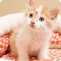 Adopt A Pet :: Blaze - Chicago, IL