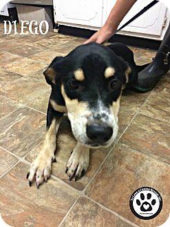 Shepherd (Unknown Type) Mix Puppy for adoption in Kimberton, Pennsylvania - Diego
