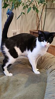 Domestic Shorthair Cat for adoption in Arlington, Virginia - CeCe- Purr-meister