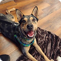 Australian Cattle Dog Mix Dog for adoption in Madison, Wisconsin - Nooka:on medical hold (PA)