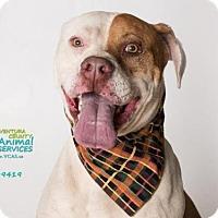 Adopt A Pet :: BUSTER - Camarillo, CA