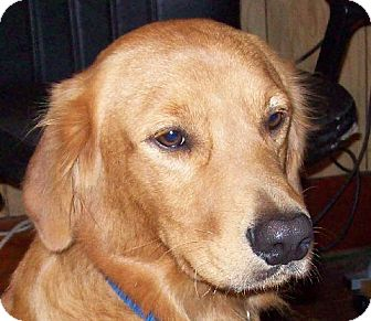 Golden Retriever Dog for adoption in Guthrie, Oklahoma - Goldmen