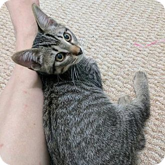 Domestic Shorthair Kitten for adoption in Columbus, Ohio - Briar