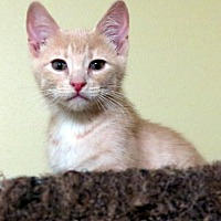 Adopt A Pet :: Cheech - St. Louis, MO