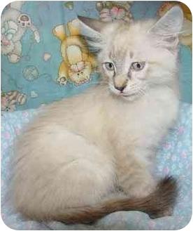 Siamese Kitten for adoption in Brenham, Texas - Loupi
