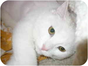 Domestic Shorthair Kitten for adoption in Bay City, Michigan - Frosty