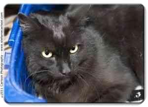 Domestic Shorthair Cat for adoption in Yorba Linda, California - Billy