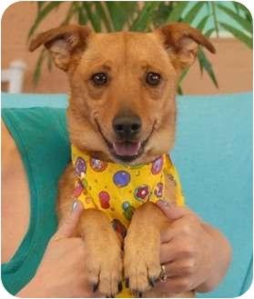 Chihuahua Mix Dog for adoption in Las Vegas, Nevada - Nemo