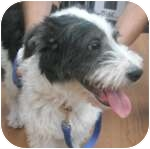 Terrier (Unknown Type, Medium) Mix Dog for adoption in Wheaton, Illinois - Domino