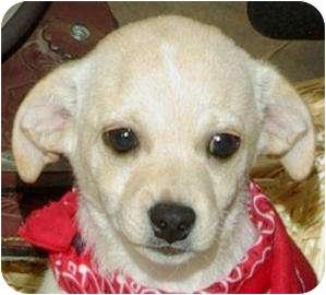 Chihuahua Mix Dog for adoption in Cedartown, Georgia - Mikki