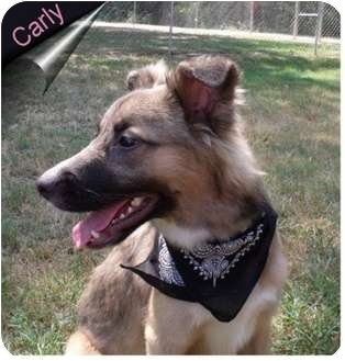 Australian Shepherd Mix Dog for adoption in Ozark, Alabama - Carly
