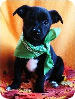 Spaniel (Unknown Type)/Corgi Mix Puppy for adoption in Irvine, California - Truffle