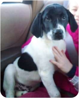 Labrador Retriever/Dalmatian Mix Puppy for adoption in Hagerstown, Maryland - Ditto