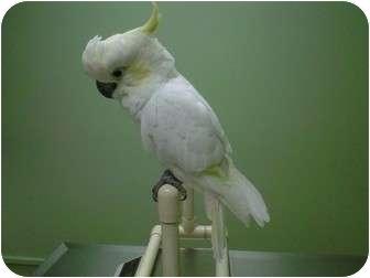 Cockatoo for adoption in St. Louis, Missouri - ChooChoo