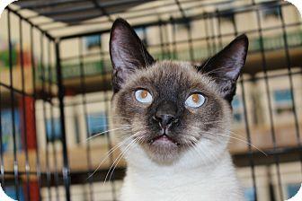 Siamese Cat for adoption in Santa Monica, California - Simon